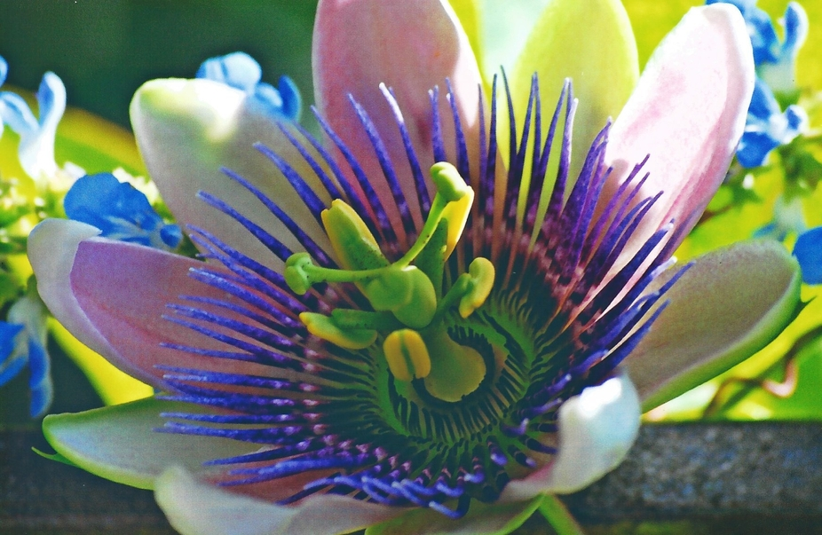 Passion flower -   lets pretend its summer !!!!