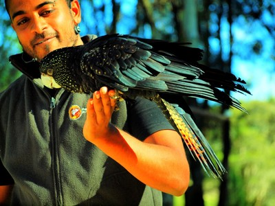 Ravi with Roger the Red-tailed Black Cockatoo