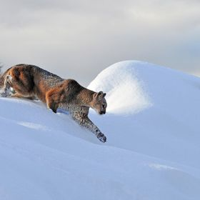 A mountain lion cresting a snow covered ridge in Montana