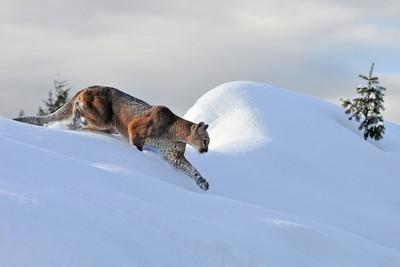 Cougar Cresting the Ridge