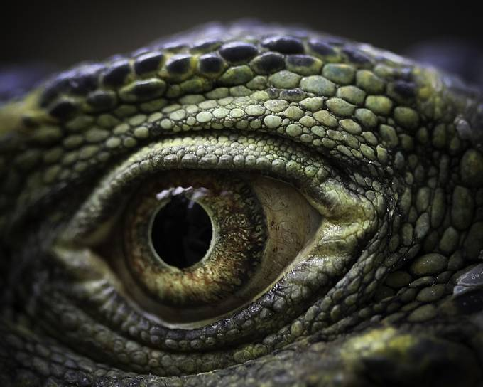 Gomez2 by tiedyejeremy - Reptiles Photo Contest