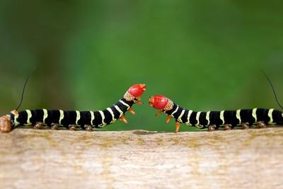 Caterpillar Battle