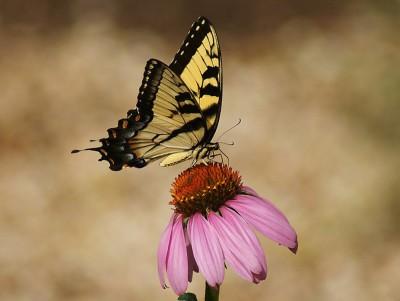 The Regal Swallowtail