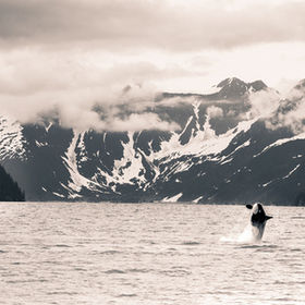 An Orca breaches in July of 2012 in Kenai Fjords National Park in southern coastal Alaska.