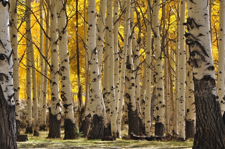 Colorado aspens in the fall
