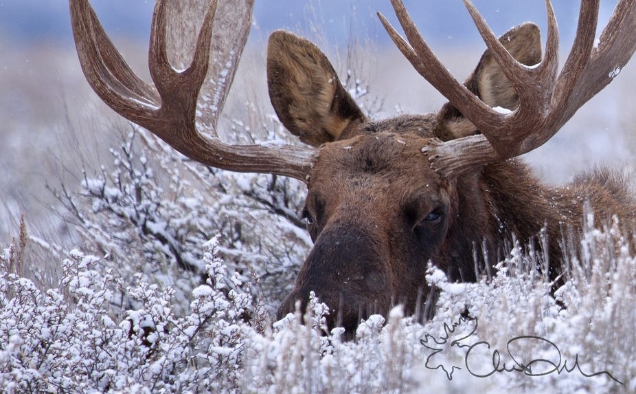 A Bull Moose lays down in the sagebrush in Grand Teton NP, WY, during a light snowfall. If you wa...