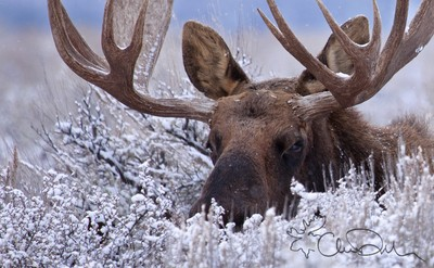 Moose in a Light Winter