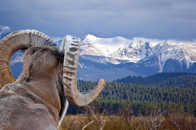 Ram in the Rockies