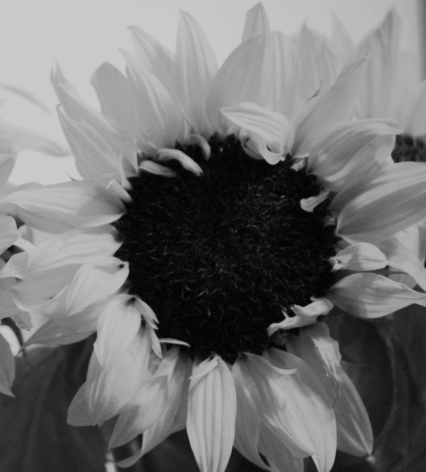 2009_0803I Sunflower