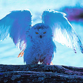 Snowy-Owl-Drying-After-Bath