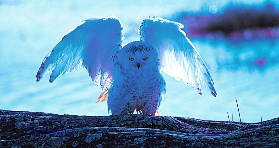Snowy-Owl-Drying-After-Bath