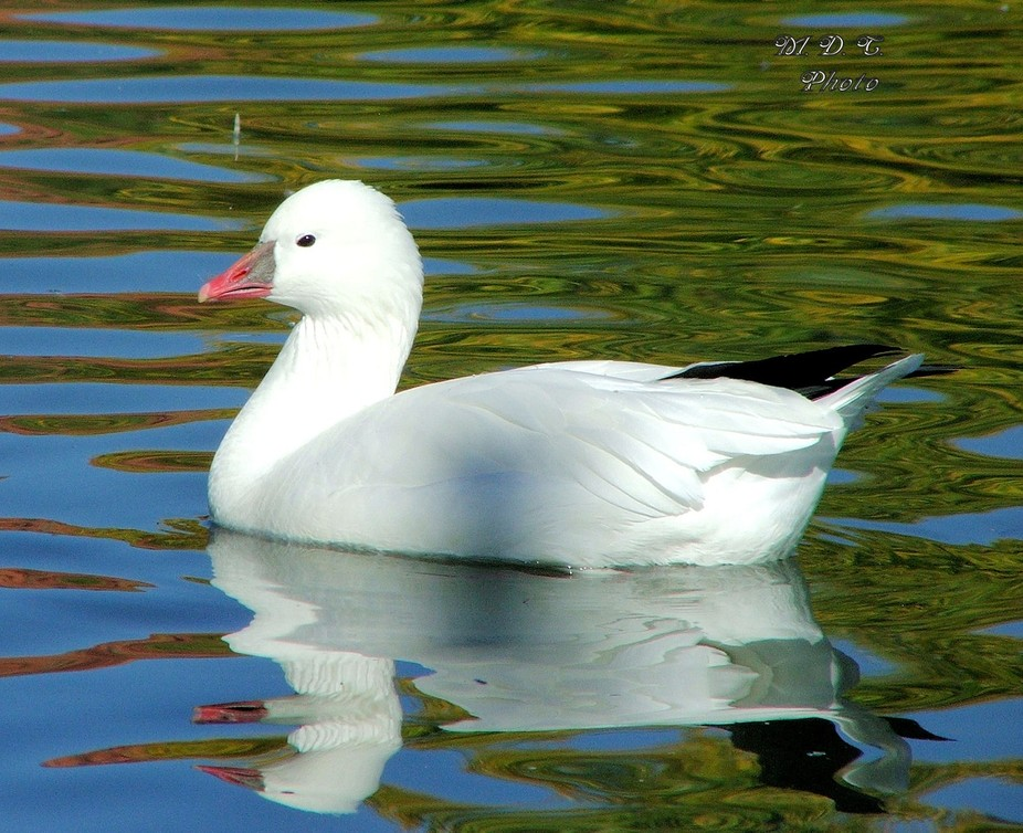 black tip white duck