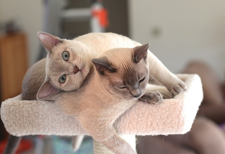 Tonkinese kittens (Mia and Max) just hanging out.