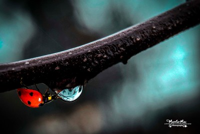 The ladybird and the raindrop...