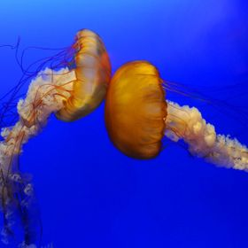 A nice Jelly Fish couple
