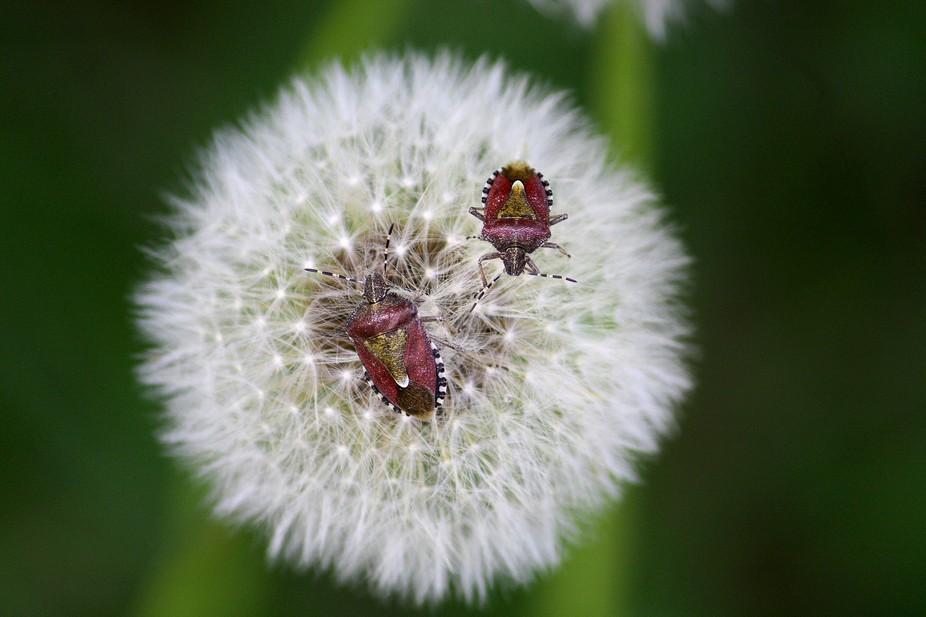 Two Sloe Bugs
