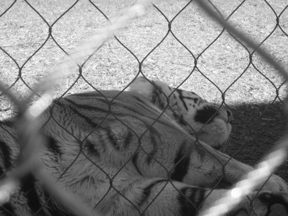 tigers,black and white, animals, nature, locked up By Sabra Mitchell
