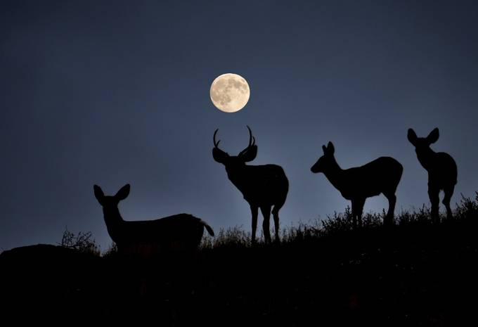 4 deer & moon by BLPhotography - The Moonlight Photo Contest