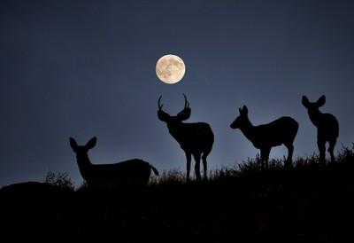 4 deer & moon