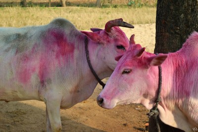 A Pair of Cows on their official Worship day.