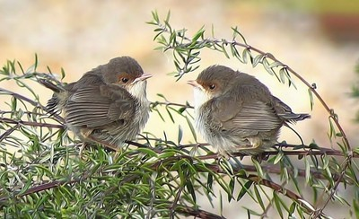Baby Superb Fairy Wrens just out of the nest