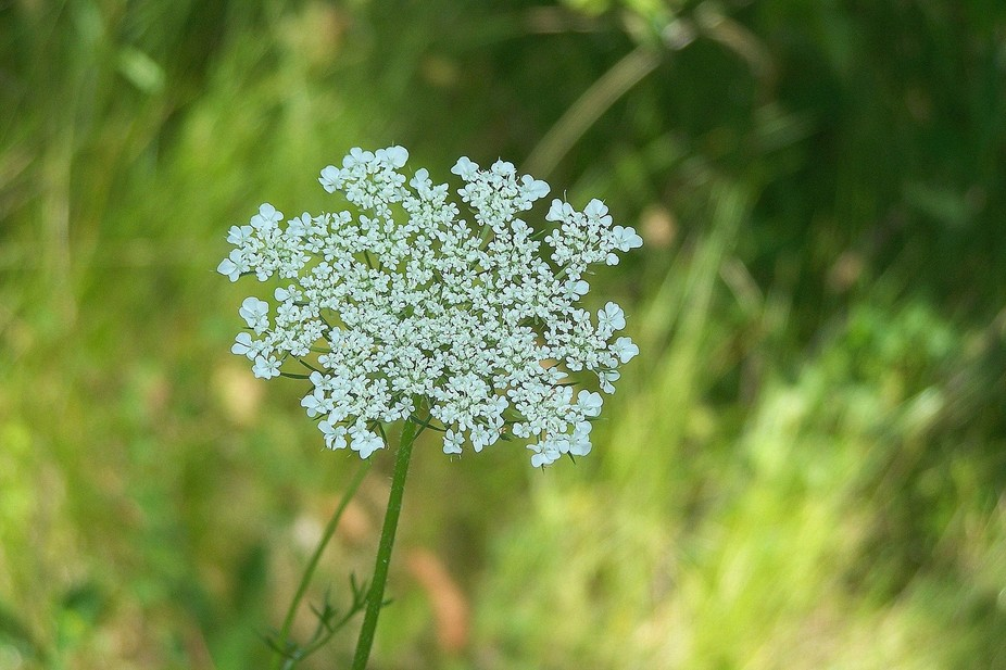 Queen Anne\'s Lace is a weed that should be planted in gardens--I love their detailed little mini-...