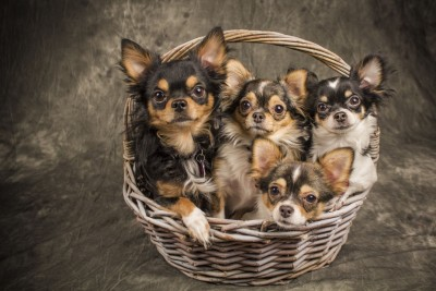 4 Chihuahuas in a Basket