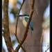 Purple_dragonfly
