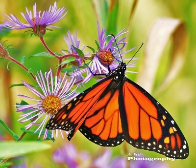 Monarch Shows Colour