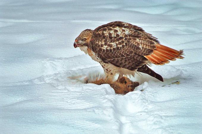 Redtail Hawk winter hunt 160b by Batesphoto - Winter Wildlife Photo Contest