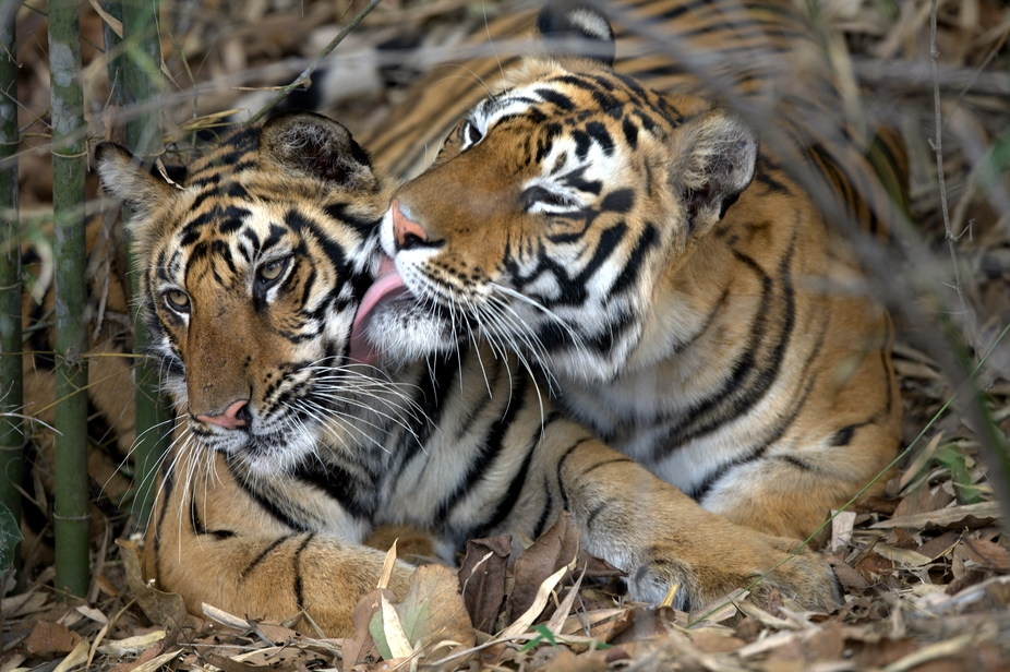 Bengal Tiger motherly love.  These animals are known for their attitude and aggression. But this ...