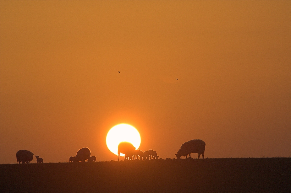 Sheep against setting sun