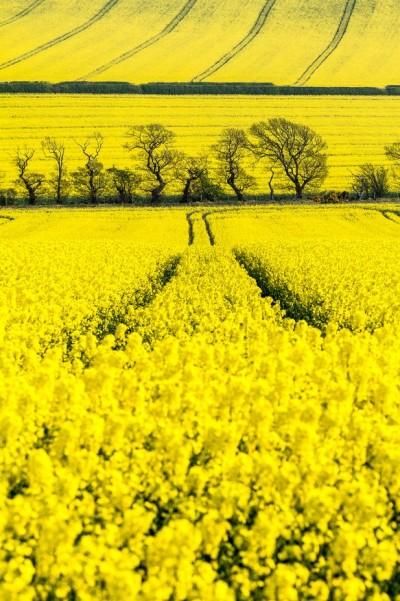 Oil Seed Fields