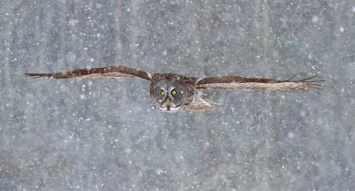 Snowfall - Great Grey Owl