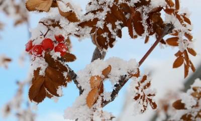 Frost on rowan