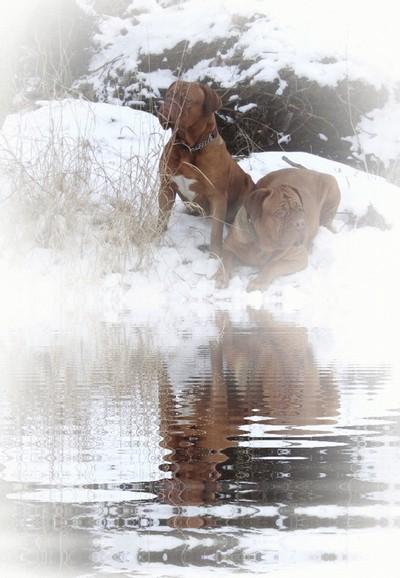 Enamor Dogue De Bordeaux Winter Snow