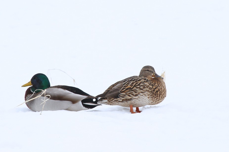 Captured this pair of mallards sitting around on the snow near the water\'s edge.