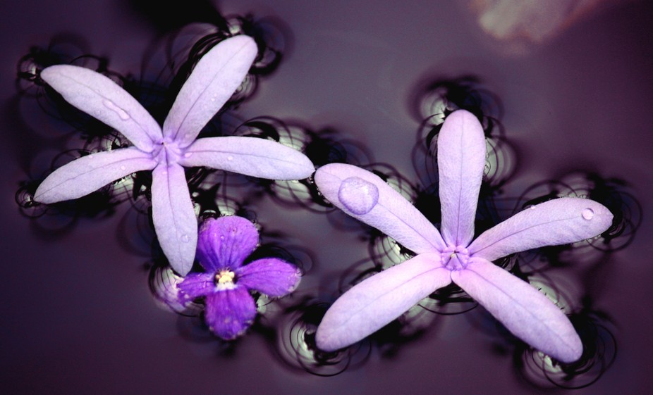 Purple flowers adrift on the water. Note: photoediting software has been used to bring out the pu...