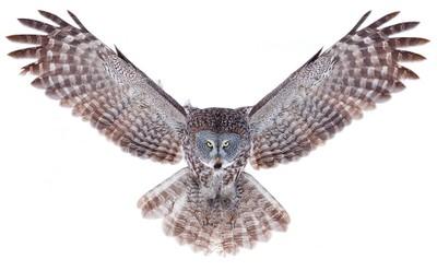 Power - Great Grey Owl