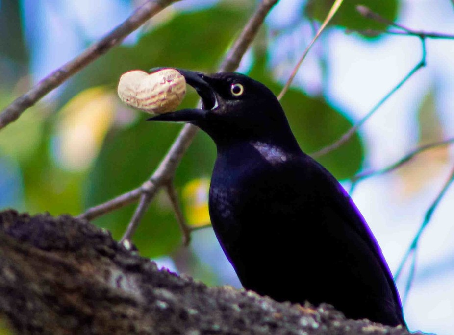 A Common Grackle , with a peanut in it\'s month.