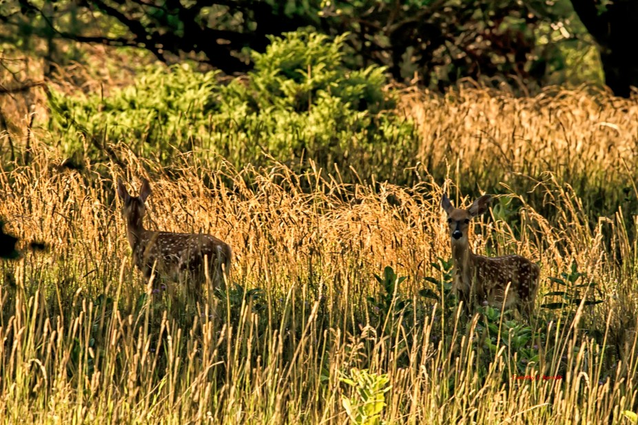 These two fawns just knew they were being watched.