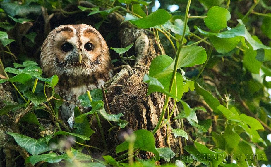 An owl is perched in a hollow of a tree watching the world. Taken in Andover, Hampshire. England.