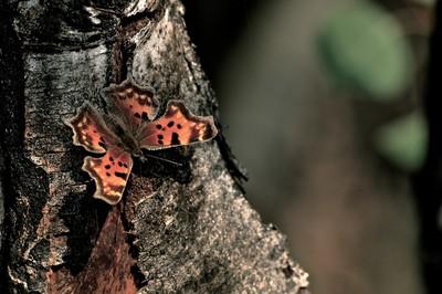 Colorado Butterfly