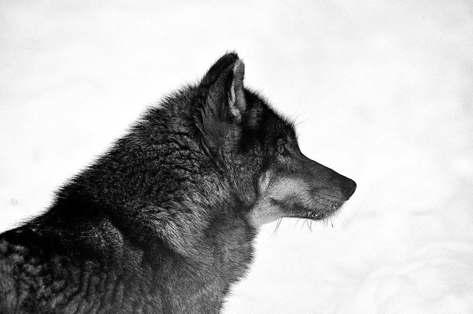 wolfBW