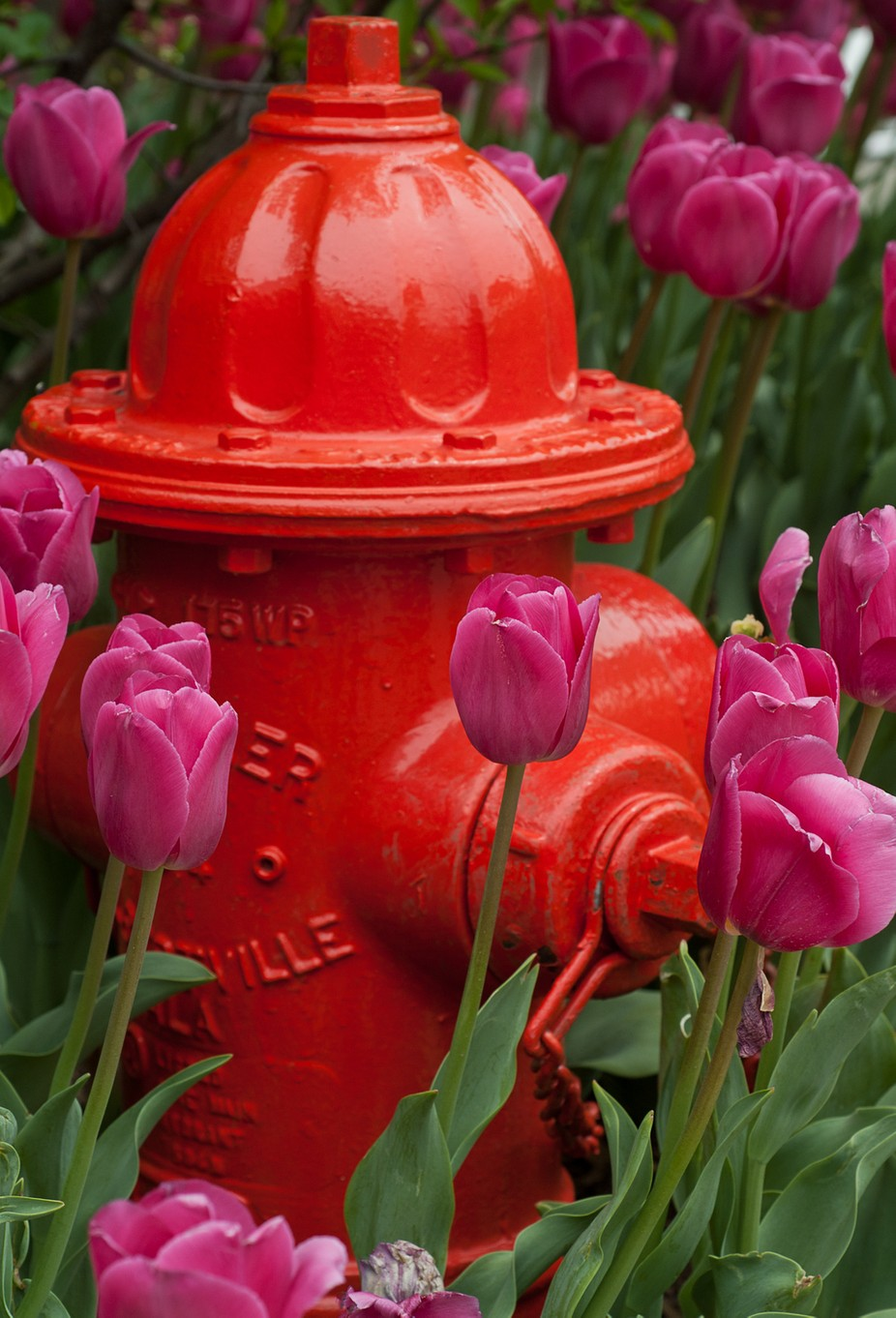 Tulips that seem to be hoping for a drink of water from their big red neighbor.