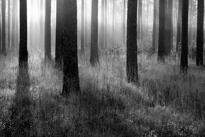 Croatan Forest