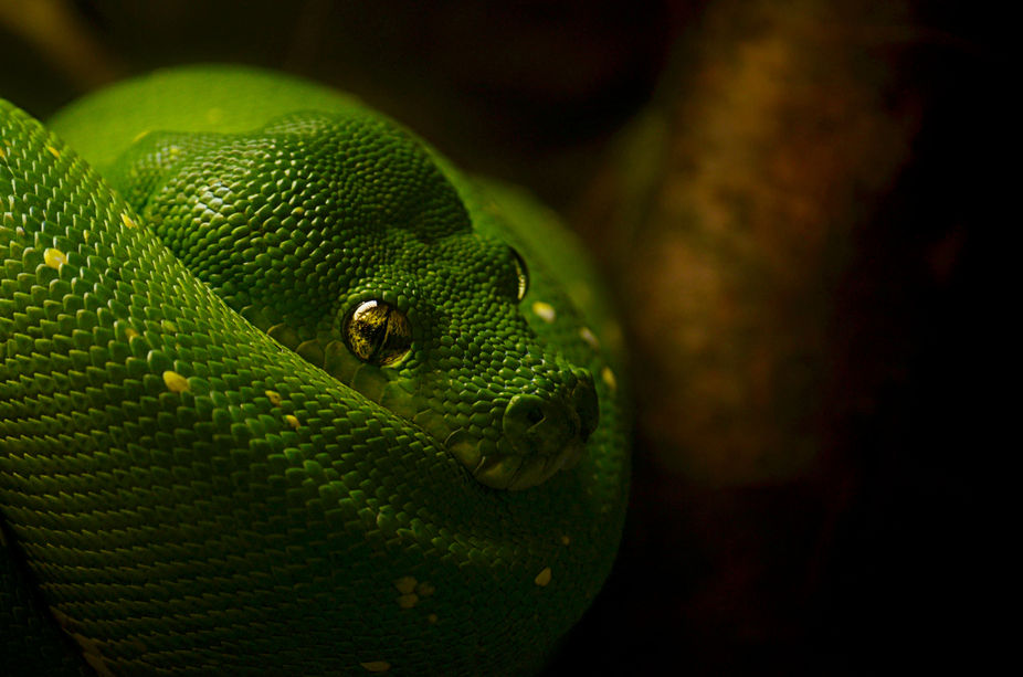 Taken indoors in the reptile exhibit at Lincoln Park Zoo in Chicago, IL on my Nikon D5100... And ...