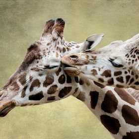 Mother and baby giraffe.   b/g replaced with texture from Shadow House.