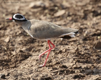 Crowned Plover - Southern Africa
