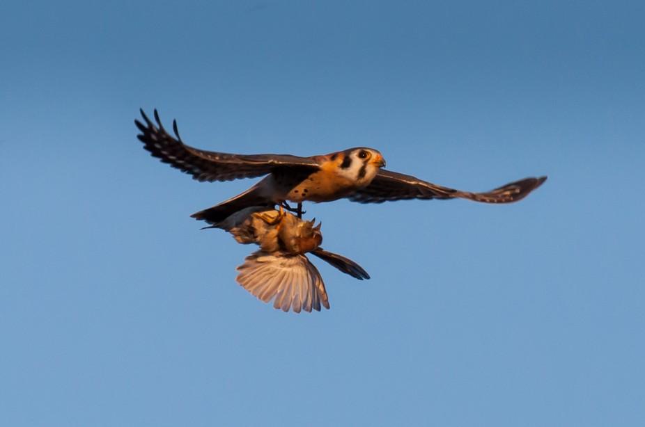Kestrel Falcon